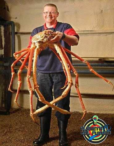 Macrocheira kaempferi o cangrejo gigante