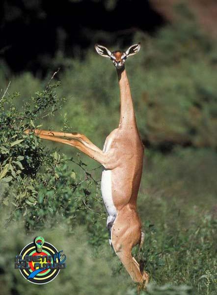 Gacela-jirafa del futuro