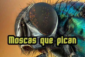 moscas que pican